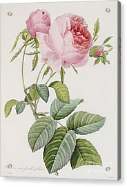 Rose Acrylic Print by Pierre Joesph Redoute