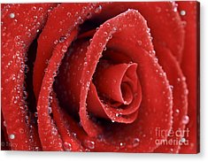 Rose Red  Acrylic Print by Tracy  Hall