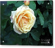 Rose Ros Acrylic Print by Yury Bashkin