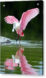 Roseate Spoonbill Acrylic Print by Clint Buhler