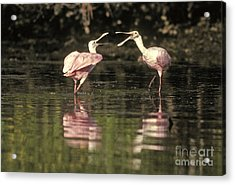 Roseate Spoonbill Acrylic Print by Ron Sanford