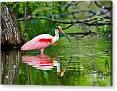 Roseate Spoonbill Wading Acrylic Print by Anthony Mercieca