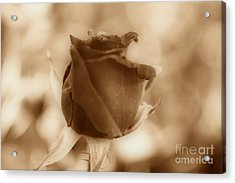Rosebud Sepia Tone Acrylic Print by Cheryl Young