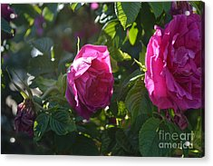 Roses At Sunrise Acrylic Print by Alys Caviness-Gober