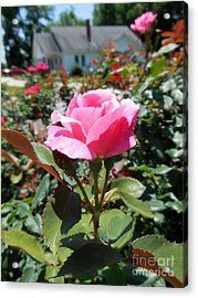Roses Near A Country House Acrylic Print by Eloise Schneider