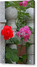 Roses On The Fence Acrylic Print by Qing