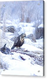 Rough Legged Hawk On Deer Carcass Acrylic Print by Gregory K Scott