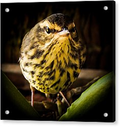Round Warbler Acrylic Print by Karen Wiles