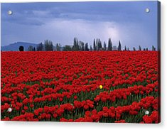 Rows Of Red Tulips With One Yellow Tulip  Acrylic Print by Jim Corwin