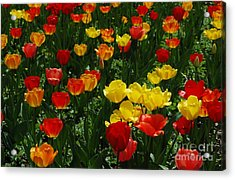 Rows Of Tulips Acrylic Print by Kathleen Struckle