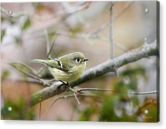 Ruby-crowned Kinglet Acrylic Print by Christina Rollo