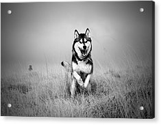 Running Wolf Acrylic Print by Mike Taylor