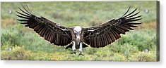Ruppells Griffon Vulture Gyps Acrylic Print by Panoramic Images