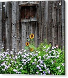 Rustic Barnwood Sunflower Acrylic Print by Bill Wakeley
