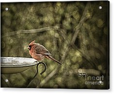 Rustic Cardinal Acrylic Print by Cris Hayes