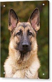Sable German Shepherd Dog Acrylic Print by Sandy Keeton