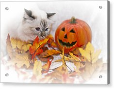 Sacred Cat Of Burma Halloween Acrylic Print by Melanie Viola
