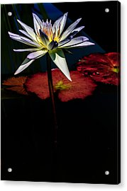 Sacred Water Lilies Acrylic Print by Louis Dallara