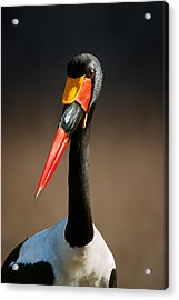Saddle-billed Stork Portrait Acrylic Print by Johan Swanepoel