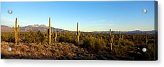 Saguaro Cacti In A Desert, Four Peaks Acrylic Print by Panoramic Images