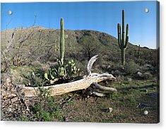 Saguaro Skeleton Saguaro National Park Az  Acrylic Print by Brian Lockett