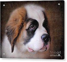 Saint Bernard Puppy Acrylic Print by Jai Johnson