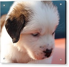 Saint Bernard Puppy Acrylic Print by Mechala  Matthews