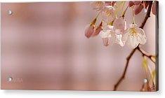 Sakura Acrylic Print by Lisa Knechtel