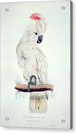 Salmon Crested Cockatoo Acrylic Print by Edward Lear