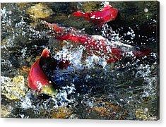 Salmon Spawning Acrylic Print by Don Mann