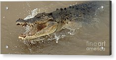 Saltwater Crocodile Acrylic Print by Bob Christopher