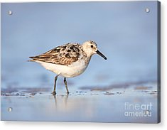 Sanderling Acrylic Print by Clarence Holmes