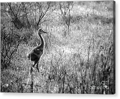 Sandhill Chick In The Marsh - Black And White Acrylic Print by Carol Groenen