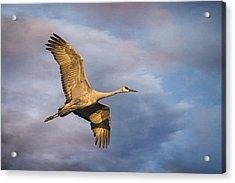 Sandhill Crane In Flight Acrylic Print by Priscilla Burgers