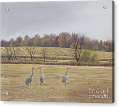 Sandhill Cranes Feeding In Field  Acrylic Print by Jymme Golden