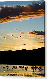 Sandhill Cranes In New Mexico Acrylic Print by William H Mullins