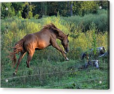 Sandy The Roan Cavorting  - C0094e Acrylic Print by Paul Lyndon Phillips
