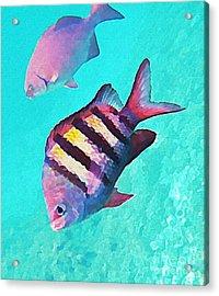 Sargeant Fish Acrylic Print by John Malone