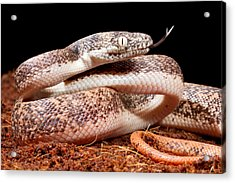 Savu Python In Defensive Posture Acrylic Print by David Kenny