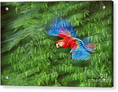 Scarlet Macaw Juvenile In Flight Acrylic Print by Frans Lanting MINT Images