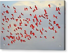 Scarlet Sky Acrylic Print by Tony Beck