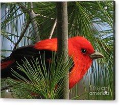 Scarlet Tanager Acrylic Print by Nancy TeWinkel Lauren