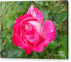 Scented Rose Acrylic Print by Ramona Matei