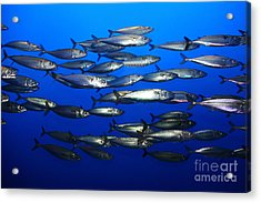 School Of Pacific Sardines 5d24927 Acrylic Print by Wingsdomain Art and Photography
