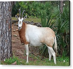 Scimitar Horned Oryx Acrylic Print by Richard Bryce and Family