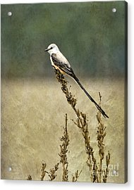 Scissortailed-flycatcher Acrylic Print by Betty LaRue