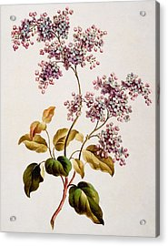 Scotch Lilac, Published 1793 Acrylic Print by John Edwards