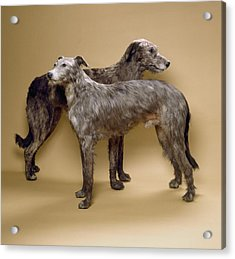 Scottish Deerhounds, Stuffed Specimens Acrylic Print by Science Photo Library