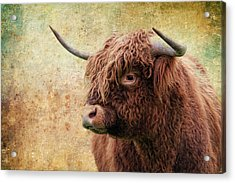 Scottish Highland Steer Acrylic Print by Steve McKinzie