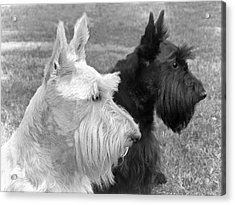 Scottish Terrier Dogs Black And White Acrylic Print by Jennie Marie Schell